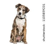 Stock photo mixed breed dog sitting isolated 1105859231