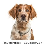 Stock photo close up of a brittany dog isolated 1105859237