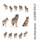 pack of wolves   canis lupus ... | Shutterstock . vector #1105875917