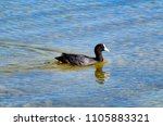 little black duck with a white... | Shutterstock . vector #1105883321