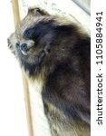 portrait raccoon taxidermy... | Shutterstock . vector #1105884941