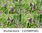 mating sequence of brown argus  ... | Shutterstock . vector #1105889381