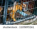 german shepherd in a cage  ... | Shutterstock . vector #1105895261