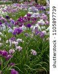 Small photo of Irises in Horikiri iris garden / Horikiri iris garden is a garden free of admission fee located in Katsushika Ward, Tokyo, Japan