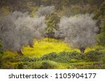 green olive grove in spring or...   Shutterstock . vector #1105904177