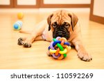 Stock photo little puppy bullmastiff played in the house 110592269