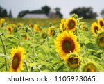 Small photo of Agriculture, agronomy and farming background.Scenic rural summer landscape with field of sunflowers in shallow depth of field and silhouette of farm buildings on a background. Beautiful summer nature.
