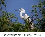 great egret    ardea alba   ... | Shutterstock . vector #1106029139