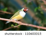 finches sitting on a branch in... | Shutterstock . vector #110603315