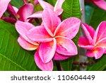 Frangipani Flowers Or Pink...