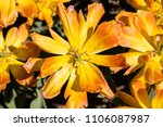 yellow orange tulip | Shutterstock . vector #1106087987