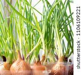 the nature vegetable leaf onion ...   Shutterstock . vector #1106109221