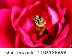 Bee is in the center of red rose in the spring garden