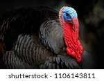 Portrait Of Wild Turkey ...