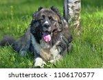 caucasian shepherd dog in summer | Shutterstock . vector #1106170577