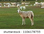 beautiful lambs and sheeps in... | Shutterstock . vector #1106178755