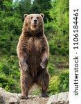 brown bear  ursus arctos ... | Shutterstock . vector #1106184461