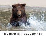 Brown Bear  Ursus Arctos ...