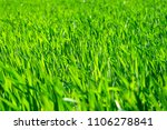 Small photo of Young wheat field in spring, seedlings growing in a soil. Green wheat field, prouts of wheat. Close up. Selective focus. Agronomic background