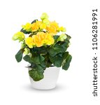Flowering Begonia A Potted...