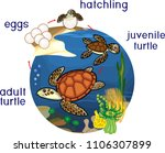 life cycle of sea turtle.... | Shutterstock .eps vector #1106307899