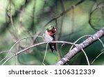 ruby throated hummingbird male  ... | Shutterstock . vector #1106312339