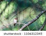 ruby throated hummingbird male  ... | Shutterstock . vector #1106312345