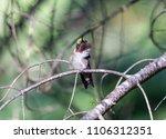 ruby throated hummingbird male  ... | Shutterstock . vector #1106312351