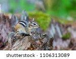 chipmunk deep in a boreal... | Shutterstock . vector #1106313089