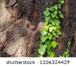 ivy ascending tree surface bark   Shutterstock . vector #1106324429