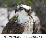 Osprey Profile Looking Left