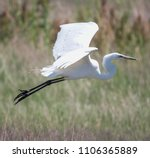 a flying great egret with... | Shutterstock . vector #1106365889