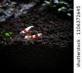Small photo of Caridina Cantonensis crawling on aquascape soil on iwagumi layout of freshwater aquascape