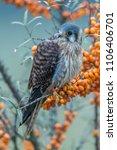 common kestrel  falco... | Shutterstock . vector #1106406701