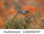 common kestrel  falco... | Shutterstock . vector #1106406707