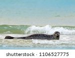 grey seal  halichoerus grypus ...   Shutterstock . vector #1106527775