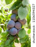 close up of the plums ripe on... | Shutterstock . vector #1106594327