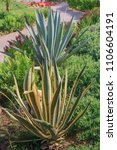 agave americana and blue agave...   Shutterstock . vector #1106604191