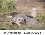Small photo of Donna Nook, Lincolnshire, UK – Nov 16: Grey seals come ashore for birthing season lie in the sand dunes on 16 Nov 2016 at Donna Nook Seal Sanctuary