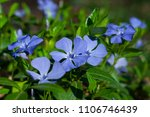 Small photo of periwinkle, Vinca flowers