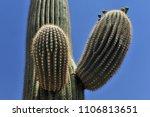 desert cacti sonora | Shutterstock . vector #1106813651