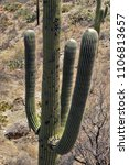 desert cacti sonora | Shutterstock . vector #1106813657