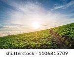 landscape of big cabbage farm... | Shutterstock . vector #1106815709