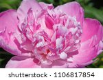 close up of pink peony in garden | Shutterstock . vector #1106817854