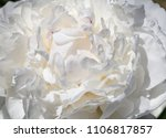 close up of white peony flower | Shutterstock . vector #1106817857