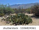 desert sonora. cactus flower | Shutterstock . vector #1106824361