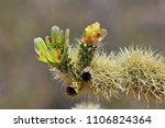 desert sonora. cactus flower | Shutterstock . vector #1106824364