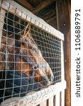 horse farm scene lonely in... | Shutterstock . vector #1106889791