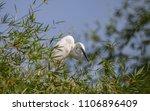 great egret    ardea alba   ... | Shutterstock . vector #1106896409