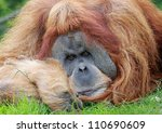 close view of an bored old male Orangutan - stock photo